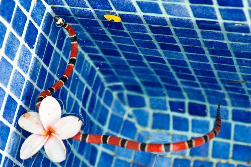 Snake-coral