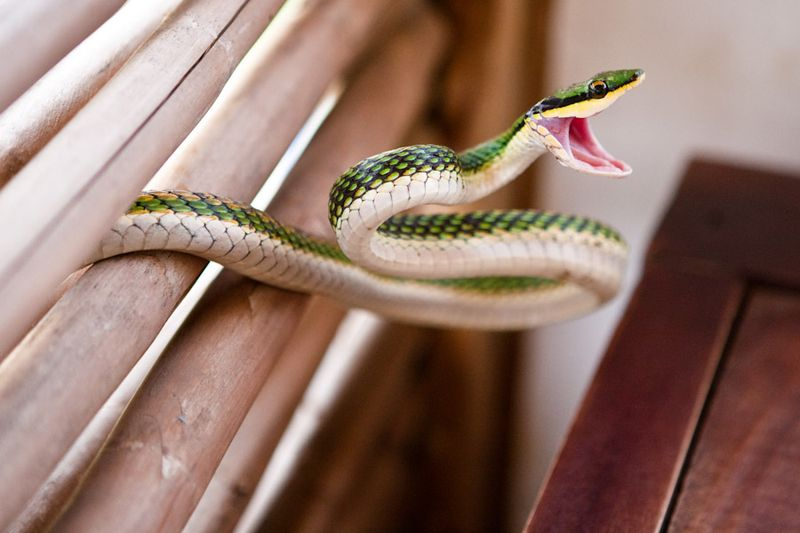 Snake-green racer