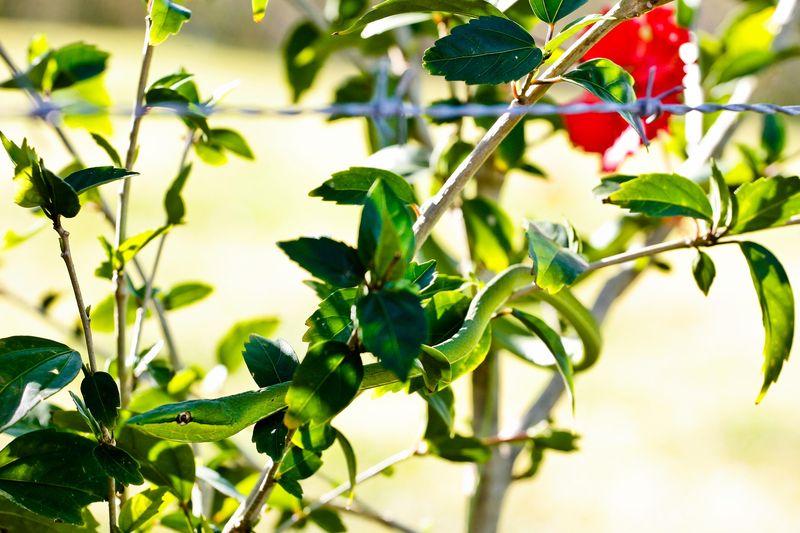 Snake-green vine