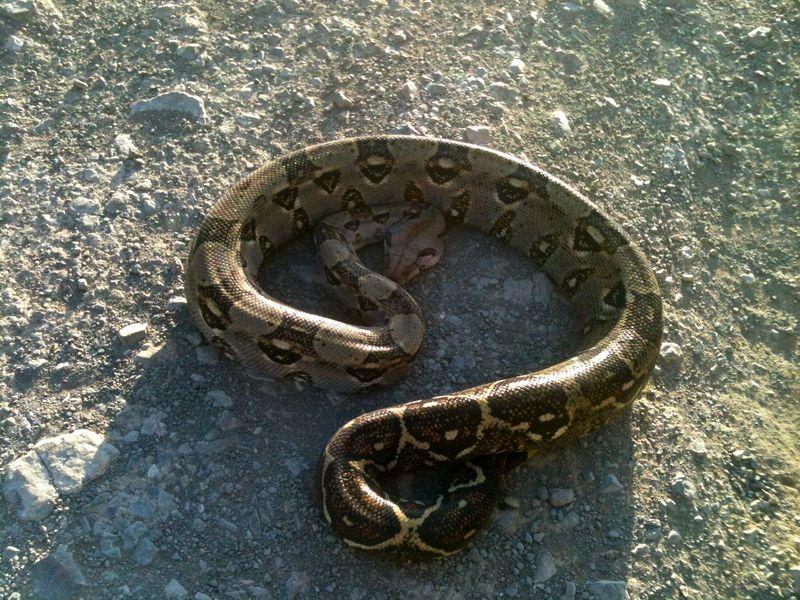 Snake-road boa